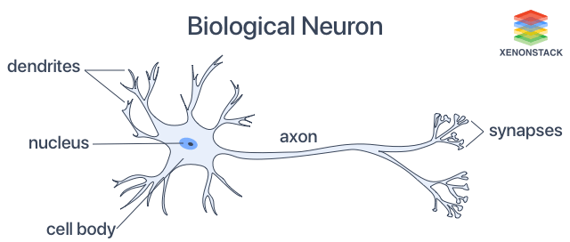 Parts of Biological Neuron